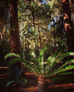 Cycad and Redwoods in the Ancient Forest Garden @descansogardens #cycad #redwoods #garden #gardenersnotebook #tree #plants #nature #outdoors