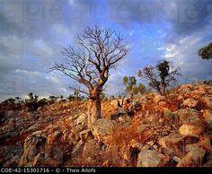 Boab trees at sunset, Kimberley, Western Australia, Australia