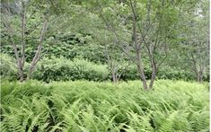 thick underplanting with ferns