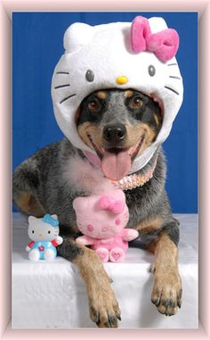 Somebody needs to break the news to these guys that hello kitty isn't a cat… #hellokitty #cute #dog #pets
