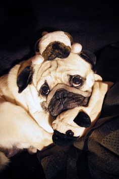 A different kind of pug pile