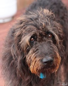 Labradoodle. Fluffier than Buster. Pretty eyes like Buster's, though.