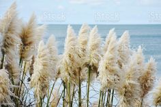 New Zealand Flora - 'Toitoi' or 'Toetoe' Grass New Zealand Native 'Toitoi' or 'Toetoe' Grass (Austroderia) againsta coastal background. Pampas Stock Photo Ge Image, Image Now, Royalty Free Images, Royalty Free Stock Photos, Closer To Nature, Fall Photos, Medicinal Plants, Photo Illustration, New Zealand