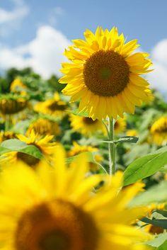 sunflowers, via Flickr.