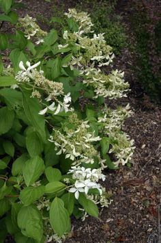 First Editions® Great Star hydrangea- blooms until first hard frost