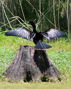 Audubon Swamp at Magnolia Plantation & Gardens - Ross Almers Magnolia Plantation, Magnolia Gardens, Historical Sites, Wildlife, Birds, Outdoor Decor, Artist, Flowers, Bird