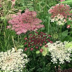 Buy wild carrot / ornamental carrot Daucus carota 'Dara': Delivery by Crocus How To Plant Carrots, Carrot Flowers, Meadow Garden, Design Floral, Flower Names, Beautiful Flowers Garden, Growing Seeds, Flower Farm, Flower Bouquet Wedding