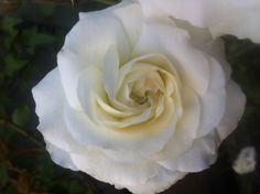 mm white rose