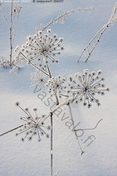 Kuurankukka - huurre kuura jää lumi kukka kylmä hanki kasvi koiranputki talventörröttäjä kuiva  oksa Cow Parsley, Winter Wonderland, Natural Beauty, Hair Accessories, Nature, Pattern, Art, Art Background, Naturaleza
