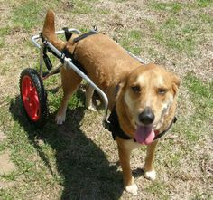 Wheels are so happy for an elderly or handicapped  dog!   (yay, wheels)