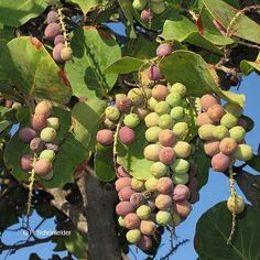 Coccoloba uvifera - Sea grape. Fruit. Family Polygonaceae.