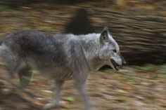 Michigan Upholds Law That Could Allow Wolf Hunting In Future - Northern Michigan's News Leader