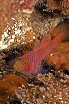 This tiny zebra goby hides on the reef at Anacapa Island