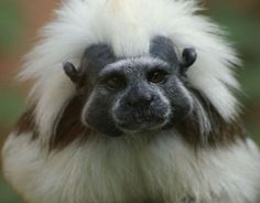 COTTON-TOP TAMARIN - Primates Wallpaper ID 1188400 - Desktop Nexus Animals