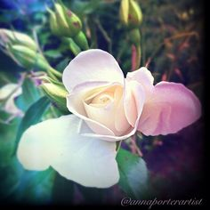 The promise, a new rosebud in my artist gardens, copyright 2014 @annaporterartist. Buy prints online in my Roses Gallery on Instaprints at http://instaprints.com/featured/the-promise-anna-porter.html .