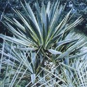 Yucca gloriosa 'Variegata' (Variegated Spanish dagger) Click image to learn more, add to your lists and get care advice reminders each month. Yucca Tree, Yucca Plant, Yucca Gloriosa, Growing Flowers, Garden Plants, Shrubs, White Flowers, Herbalism, Succulents