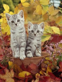 Domestic Cat, Silver Tabby Kittens Among Heather and Autumnal Leaves Cute Cats And Kittens, I Love Cats, Kittens Cutest, Tabby Kittens, Cat Lover Gifts, Cat Gifts, Silver Tabby Kitten, Animal Hugs, Owl Pet
