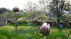 Fleurs du jardin : pivoines blanches