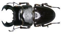 Dorcus titanus titanus Boisduval, 1835 male