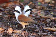 White-crestes laughingthrush http://www.markeaton.org/Galleries/Thailand%20'12%20Birds/Output/images/