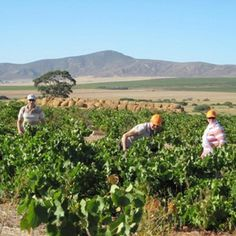 Darling Cellars near Cape Town, supposedly great wine according to one of our partners/customers down there