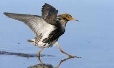 Afbeeldingsresultaat voor baltsende vogels