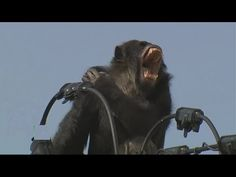 Big Chimpanzee electrocuted - YouTube Chimpanzee, Primates, Blessed, Lion Sculpture, Cheese, Big, Youtube, Primate, Youtubers