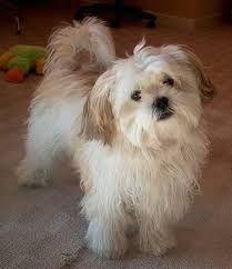 Mal-shi (Maltese X Shih Tzu Mix) Temperament, Puppies, Pictures Shih Tzu Hund, Maltese Shih Tzu, Shih Tzu Mix, Shih Tzu Puppy, Maltese Dogs, Shih Tzus, Maltese Poodle, Havanese Puppies For Sale, Havanese Dogs
