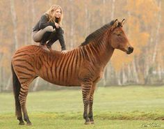This is a zorse!!! Awesome!!!