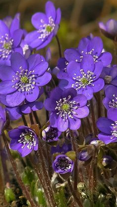 Round-lobed Hepatica - a beautiful wildflower for the woodland garden. #shade