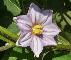 Flor de la berenjena. Flor que se convierte en fruto.