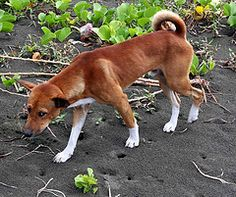 Anjing (Mangiwau) Tags: life new wild dog west beach island islands guinea pacific masi domestic mineral sands papua pulau jaya dingo pantai islanders domesticated anjing melanesia wakde sarmi irian pasifik yamna kumamba beneraf