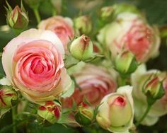 Stunning English heirloom roses