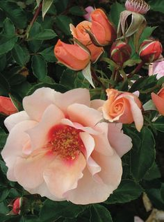 ~Decorator Rose Sweet Spot™ 'Peach'