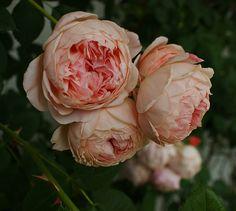 Rosa 'William Morris' - David Austin English Roses