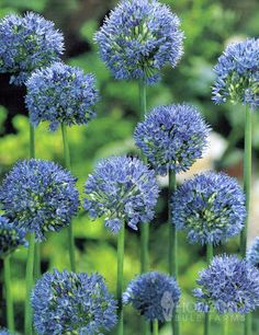 This truly Blue Allium is unlike anything else in the late spring and early summer garden. These magnificent Blue Allium grow in diameter and float above the garden. The exotic blooms retain their color for nearly 4 weeks. Garden Bulbs, Planting Bulbs, Garden Planters, Planting Flowers, Partial Sun Perennials, Allium Flowers, Bulb Flowers, Deer Resistant Garden, Paris Garden