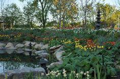 Bassin et tulipes