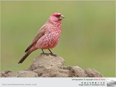 Caucasian Great Rosefinch	  (Carpodacus rubicilla)