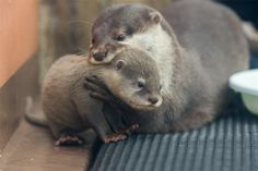 Baby otter is becoming a bit big for mum to carry From Takaaki Sawada https://twitter.com/takaaaki0410/status/569127055079505920