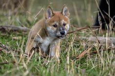 https://flic.kr/p/vfG6Y1 | Red dingo pup chewing on gum bark