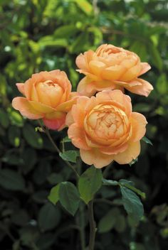 Rosa 'Lady of Shalott' (Ausnyson) David Austin 2011 USA Intro
