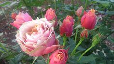 Ροζ τριαντάφυλλα ! υπέροχα !!!!