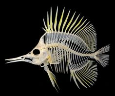 Forceps Butterflyfish (Forcipiger flavissimus) http://excalculus.tumblr.com/post/140196205583/butterflybones