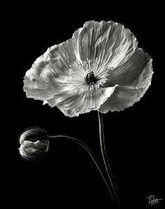 Poppy In Black And White Photograph