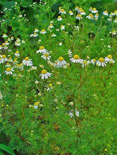Ромашка аптечная, лекарственная, ободранная (Matricaria recutita). Общий вид.