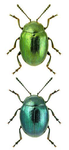 Phaedon cochleariae