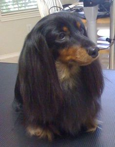Gorgeous long haired dachshund! Looks just like my Bitsy after a bath and brushing
