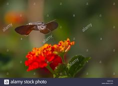 Download this stock image: Macroglossum stellatarum nectar feeding on flowers of Lantana camara - H95XYG from Alamy's library of millions of high resolution stock photos, illustrations and vectors.
