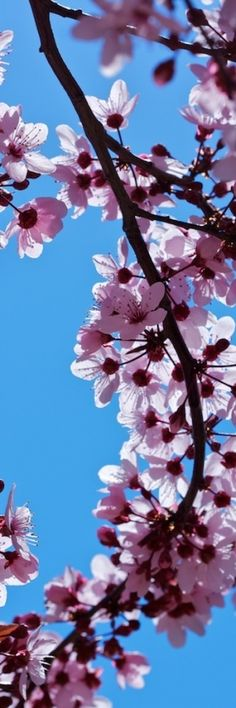 pink cherry blossoms…I would love to have a pic of these on my office wall