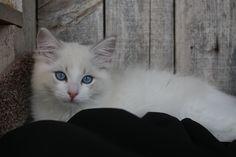 blue lynx bi-color 12 week old kitten